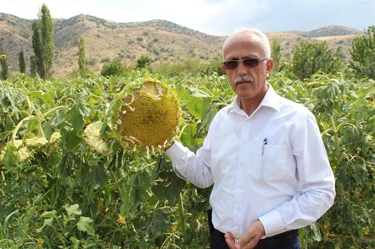 Bozkır'da Ayçiçeği Üretimi