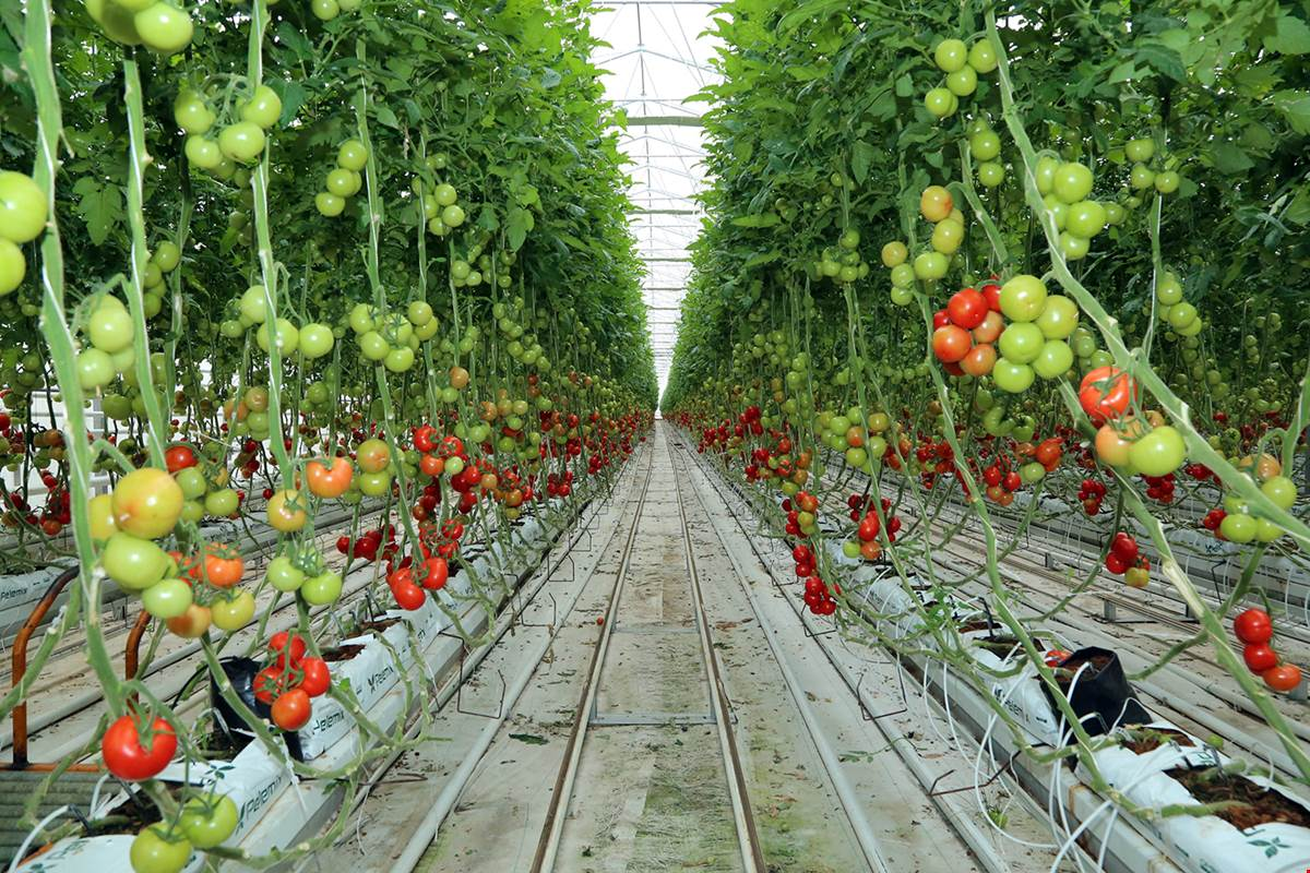Jeotermalle domates üretimi